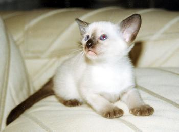 Siamese Kittens - Suyaki Siamese Cattery - Siamese Kittens For Sale