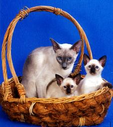 Siamese Kitten Breeder Suyaki Siamese Cattery - Breeding