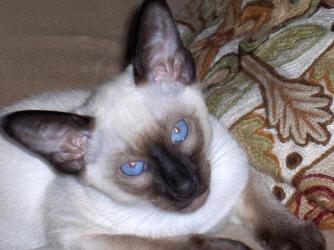 Siamese Cat Photo Gallery - Suyaki Siamese Cattery - Siamese Kittens