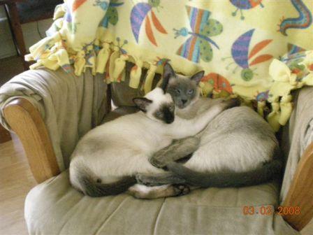 Siamese Cat Breeder - Suyaki Siamese Cattery - A Breeder of