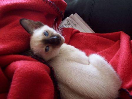 Siamese Cat Breeder - Suyaki Siamese Cattery - A Breeder of Purebred